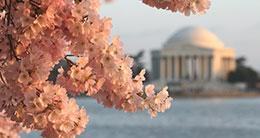 Cherry Blossom Festival - Jefferson Memorial - DC