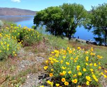 Poppies at Topaz Lake