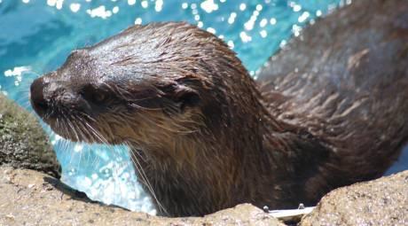Elmwood Park Zoo - Otters