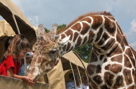 Giraffe at the Global Wildlife Center