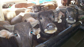 Should we be asking whether something is moral before seeking to profit from it? Picture: NT Live Export Assoc.