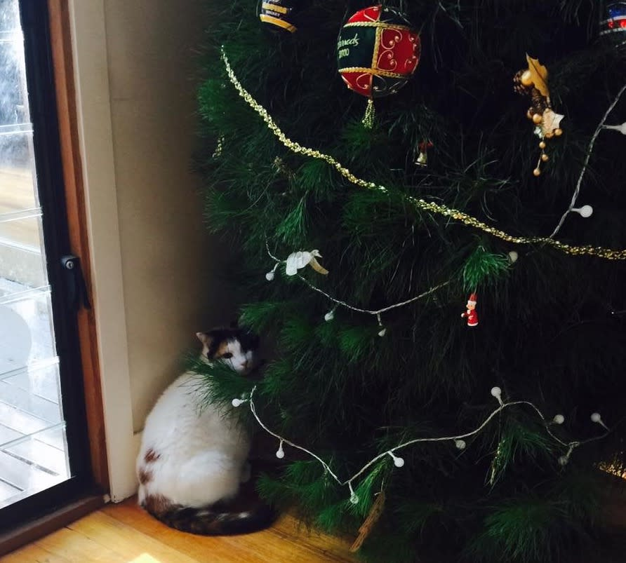 trouble ahead a cat sizes up a christmas tree picture supplied