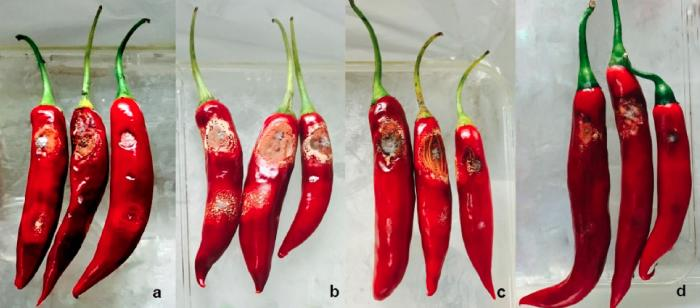 These chillies show signs of anthracnose, the fruit, seed and leaves can all be infected. Picture: Dilani de Silva
