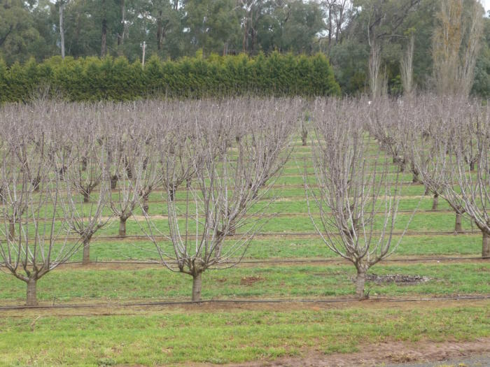 Dormant trees: fruit trees need a certain amount of cold weather before flowering when conditions get warmer. Picture: PICCC