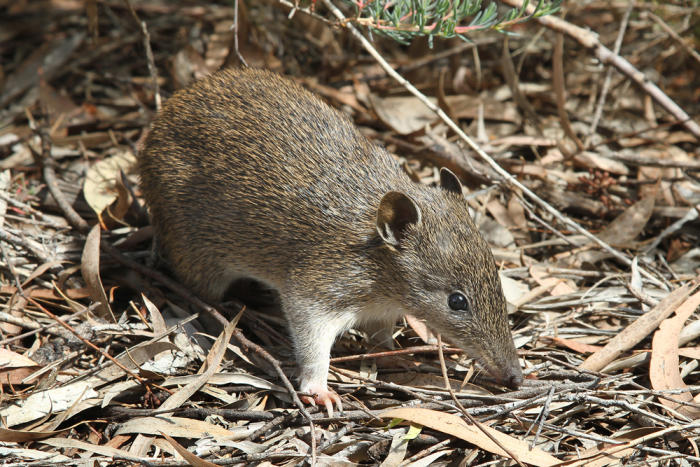 A Southern Brown Bandicoot. Picture: Wikipedia