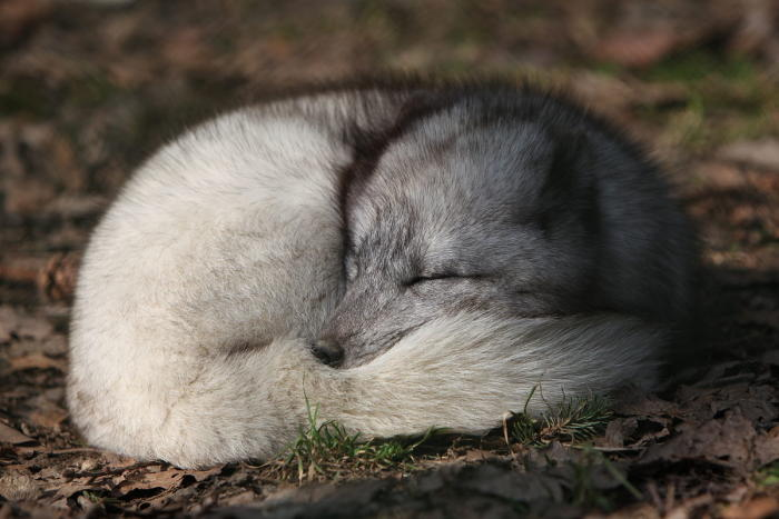Artic Fox sleeping with its tail wrapped as a blanket