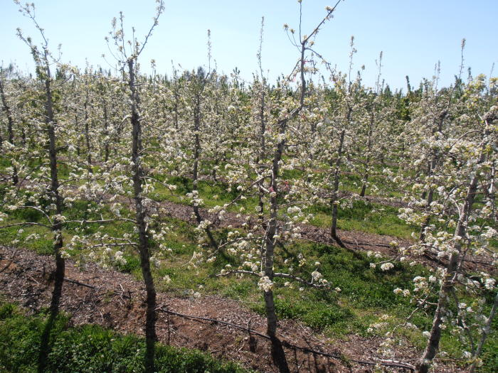 With future climate change predictions in hand, fruit growers can make the choice between adaptation methods or choosing to grow a different fruit altogether. Picture: PICCC